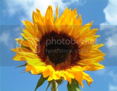 Sunflower by Fyfe Photography